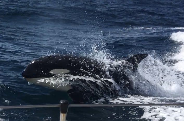 An orca surfacing next to a yacht