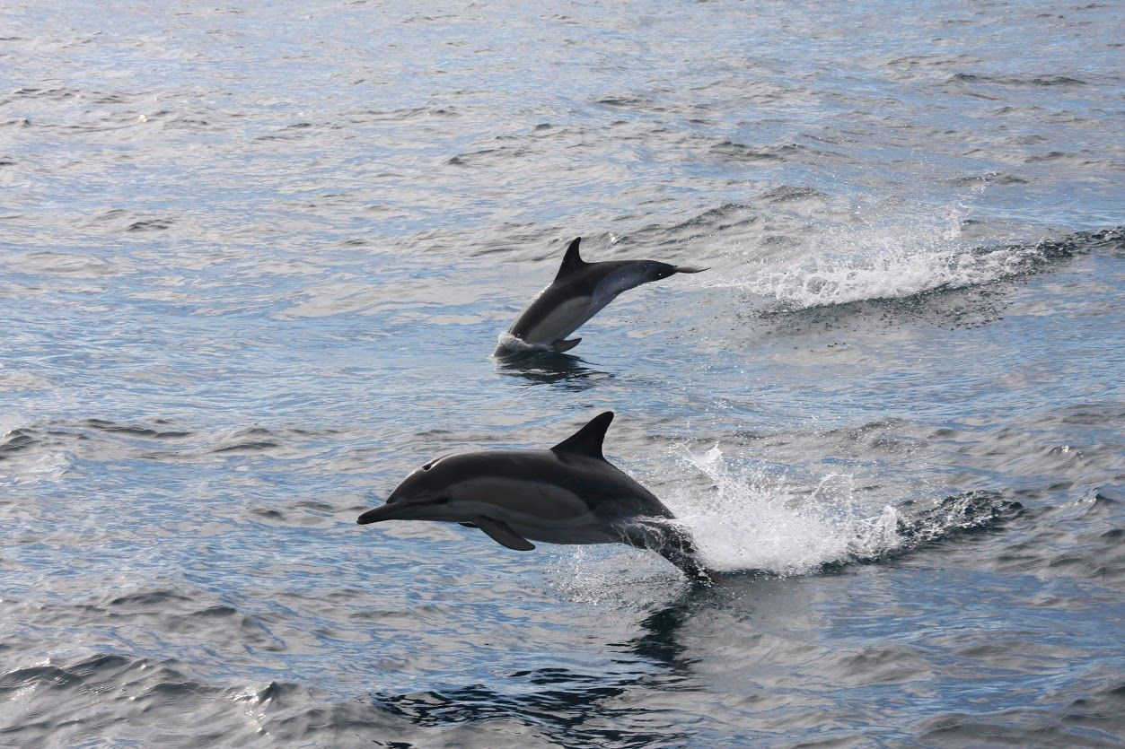 Dolphins taken on a yacht delivery
