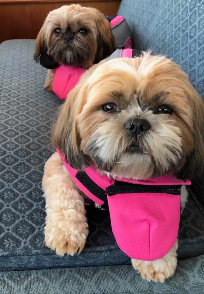 2 Shih Tzu dogs on a yacht wearing life jackets.